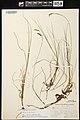 Carex limosa herbarium (03).jpg