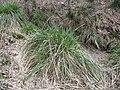 Carex paniculata plant (19).jpg