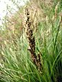 Carex paniculata rispe.jpg