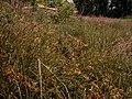 Carex pseudobrizoides plant (9).jpg