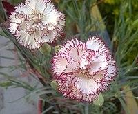 Carnation flower.jpg