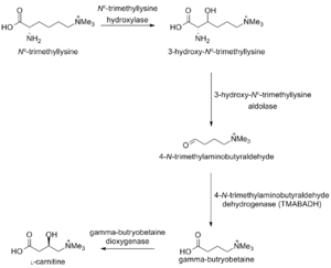 Carnitine biosynthesis - Scheme describing the biosynthetic pathway of L-carnitine in humans.