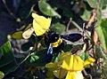 Carpenter bee Xylocopa caffra (34970288274).jpg