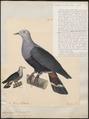 Carpophaga pinon - 1824-1839 - Print - Iconographia Zoologica - Special Collections University of Amsterdam - UBA01 IZ15600119.tif
