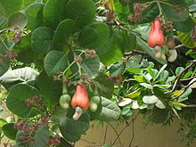 Cashew flower fruit seed.JPG