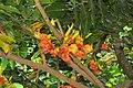 Castanospermum australe - Moreton Bay Chestnut - at Ooty 2014 (1).jpg