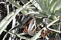 Castnia psittachus 01.jpg