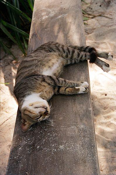 Fichier:Cat in Zanzibar.jpg