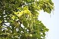 Catalpa speciosa - Severna katalpa (1).jpg