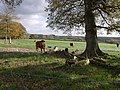 Cattle at Youngcott - geograph.org.uk - 608827.jpg