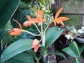 Cattleya aurantiacajf9273 06.JPG
