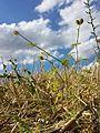Caucalis platycarpos subsp. platycarpos + Thymelaea passerina sl22.jpg