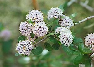 Rhamnaceae - Flowers of Ceanothus cuneatus