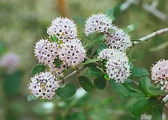 Ceanothus - Flowers of Ceanothus cuneatus (Buck brush, Wedgeleaf ceanothus) in Pinnacles National Park.