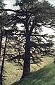 Cedars15(js).jpg