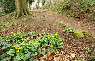 Ficaria verna - Ficaria verna, lesser celandine, at Killynether wood, Northern Ireland