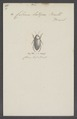 Celina - Print - Iconographia Zoologica - Special Collections University of Amsterdam - UBAINV0274 014 03 0061.tif