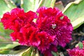Celosia cristata Amigo Magenta 0zz.jpg
