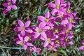 Centaurium erythraea Rafn. Villacidro(SU) Parco di San Sisinnio.jpg