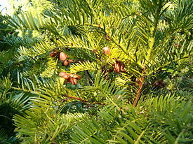 Cephalotaxus harringtonia BotGardBln1105WithSeeds.JPG