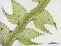 Cephalozia bicuspidata (e, 144737-474750) 3639.JPG