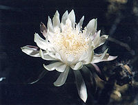 Cereus greggii flower