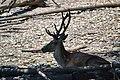 Cervo nobile (Cervus elaphus) - Red deer , Gerenzano, Italia, 08.2018 (13).jpg