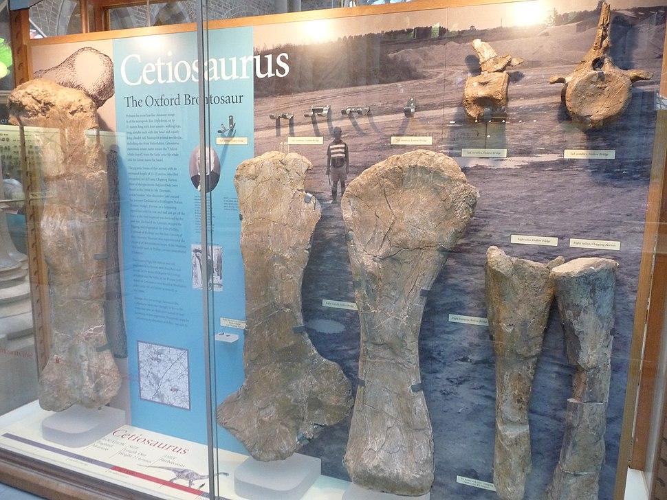 Cetiosaurus fossils
