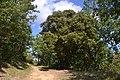 Chêne-vert, Teilhet (Ariège).jpg