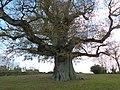 Chêne pédonculé à Hénanbihen.jpg