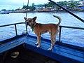 Chó cỏ ở Cần Thơ (chợ nổi) năm 2014 (1a) (4).JPG