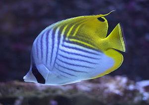 Fähnchen-Falterfisch (Chaetodon auriga setifer)