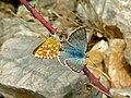 Chalkhill Blues (Polyommatus coridon) mating (8332805269).jpg