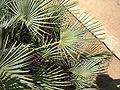 Chamaerops humilis leaves.jpg