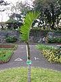Chambeyronia macrocarpa in Funchal.jpg