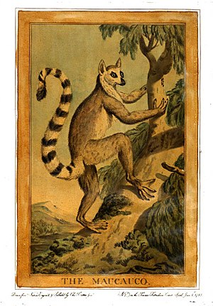 "Ring-tailed lemur - Catton's ""The Maucauco"", Animals (1788)"