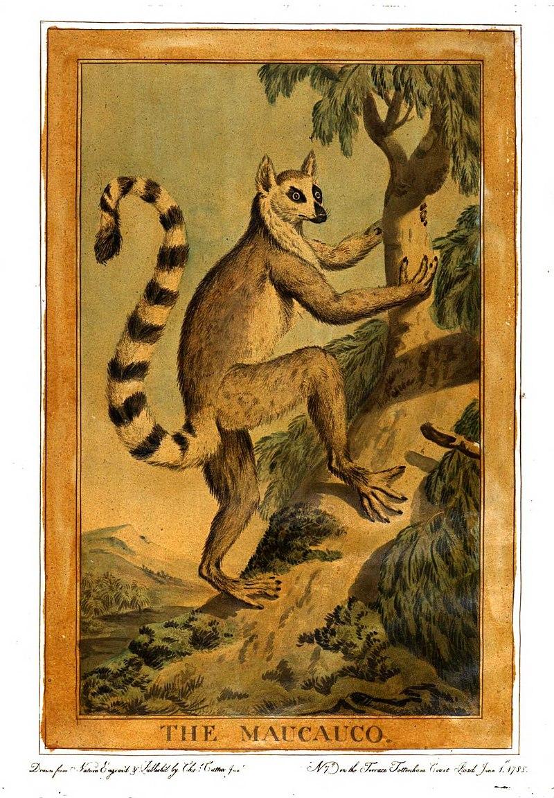 1877年的環尾狐猴畫像。