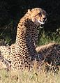 Cheetah, Acinonyx jubatus, at Pilanesberg National Park, Northwest Province, South Africa. (27513039581).jpg