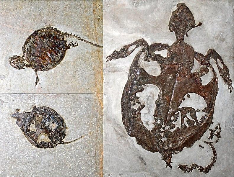 Skameneliny treťohorných korytnačiek
