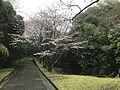 Cherry blossoms near parking area of Tokiwa Park 3.jpg