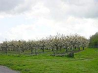Cherry orchard - geograph.org.uk - 4704.jpg