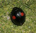 Chilocorus renipustulatus (Kidney-spot ladybird).jpg