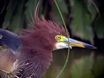 Chinese Pond-Heron head.jpg