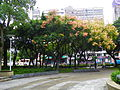 Chinese Rain Trees in Lin Sen Park 20101114.jpg