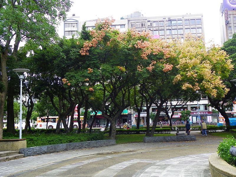 File:Chinese Rain Trees in Lin Sen Park 20101114.jpg