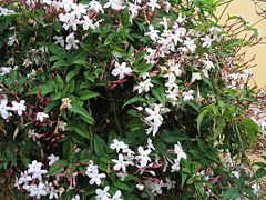 Chinese jasmine in spring bloom.JPG