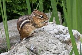 Chipmunk (71666).jpg