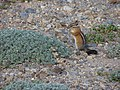 Chipmunk next to dwarf lupine on 1st Burroughs. (f2c51fa3901744e7ac33867a017d4802).JPG