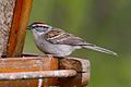 Chipping Sparrow (7246625516).jpg