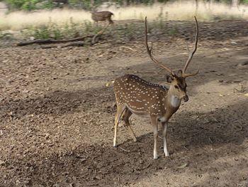 Chital - Kanha National Park.jpg